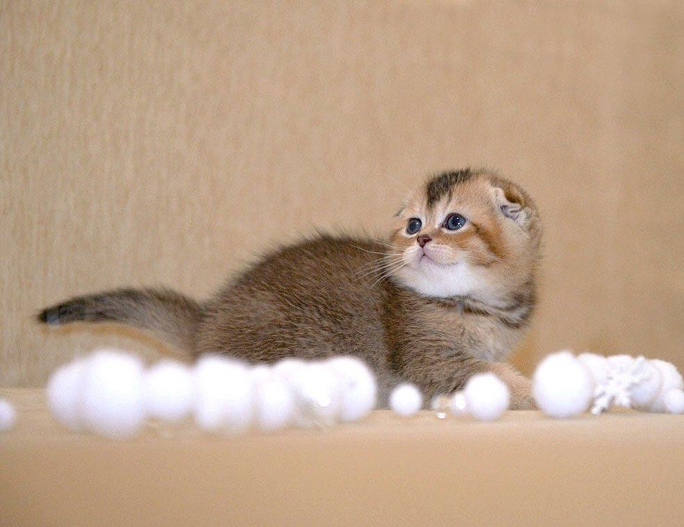 Our kitten - Goldi